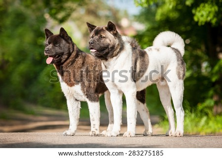 Two american akita dogs - stock photo