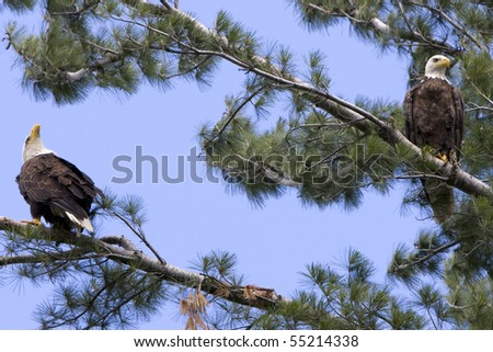Two American Bald Eagles in a White Pine tree - stock photo