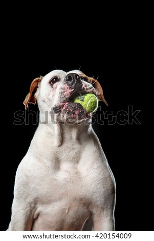 two American Bulldogs,  Dogs plays with the ball on a black background - stock photo