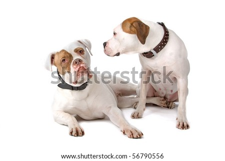 two american bulldogs isolated on a white background