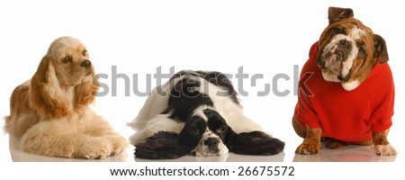 two american cocker spaniel and an english bulldog isolated on white background - stock photo