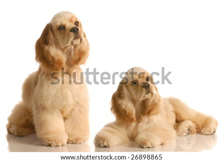 two american cocker spaniel dogs isolated on white background - stock photo