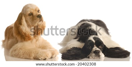 two american cocker spaniel dogs one buff and the other black and white - champion bloodlines - stock photo