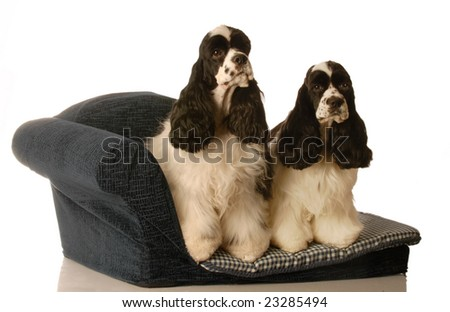 two american cocker spaniel dogs sitting on a doggy couch - matched pair - stock photo