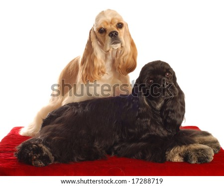 two american cocker spaniel dogs sitting on red bed isolated on white background - stock photo