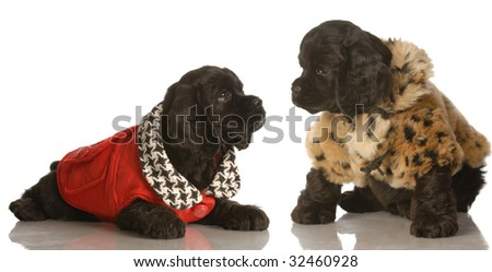 two american cocker spaniel puppies dressed up in winter coats - stock photo