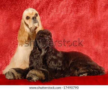 two american cocker spaniels on red background - stock photo
