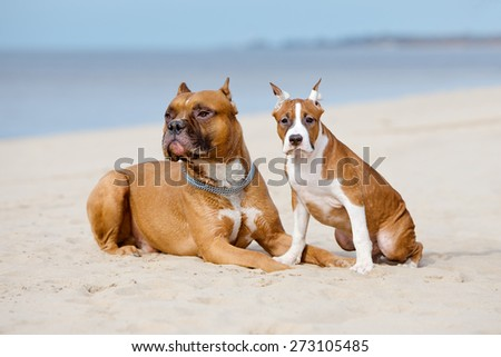 two american staffordshire terrier dogs on the beach