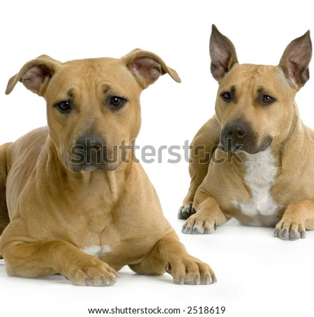 two American Staffordshire terrier hazel lying in front of white background