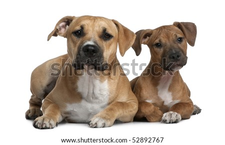 Two American Staffordshire terriers, 4 months and 9 months old, in front of white background - stock photo