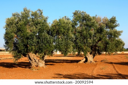 Two ancient olive trees in Apulia, Italy - stock photo