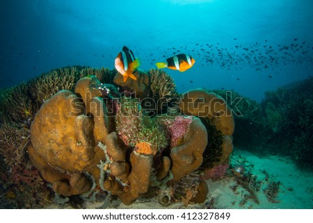Two anemone fishes protecting their anemone coral. Finding Nemo. Indonesia.