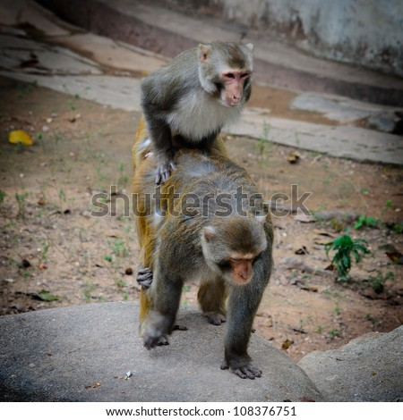 two animal monkey mating sex love - stock photo
