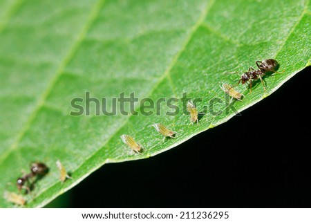two ants grazing few aphids on leaf of walnut tree close up - stock photo