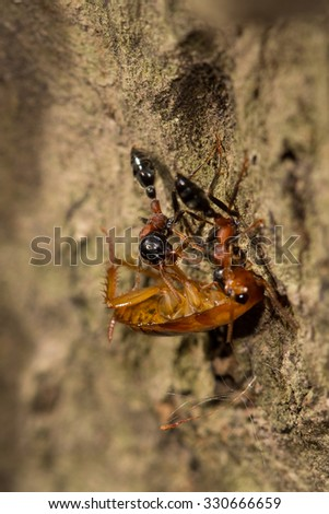 Two ants hunting a cockroach, selective focus point - stock photo