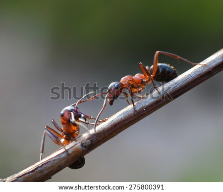 Two ants meet in garden on plant branch twig - stock photo