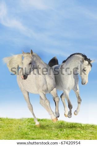 two arab horses - stock photo