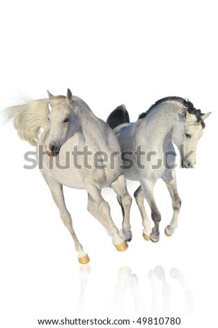 two arab horses on white - stock photo