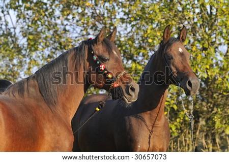 two arabian horses - stock photo