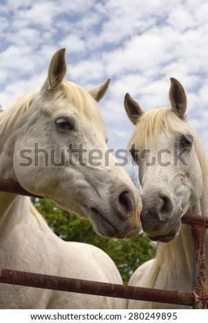 Two Arabian horses nose to nose - stock photo