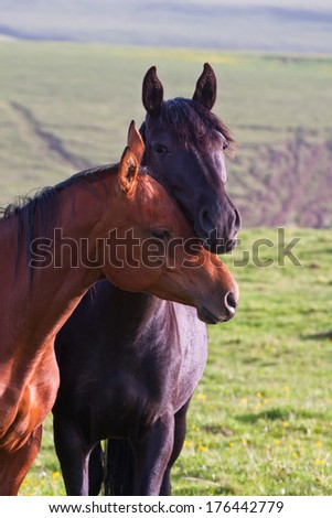 two Arabian horses on a green summer meadow - stock photo