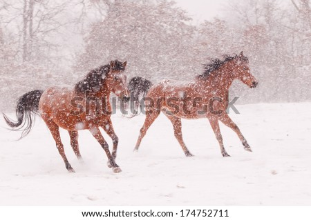 Two Arabian horses running in a blizzard - stock photo