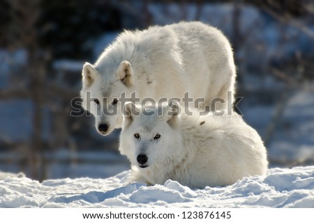 Two Arctic wolves - painterly style - stock photo