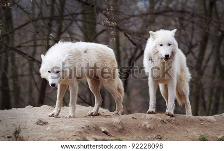 Two Arctic Wolves photographed in a zoo. - stock photo