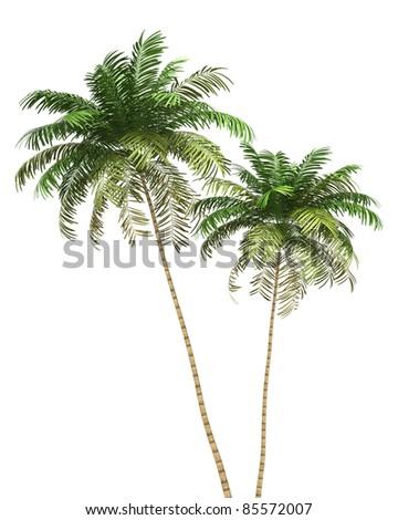 two Areca palm trees isolated on white background - stock photo