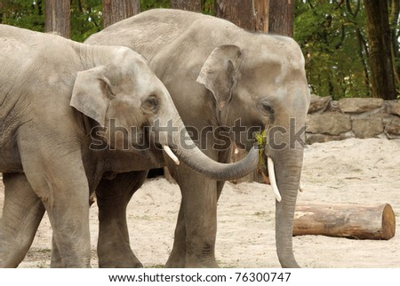 Two Asian elephants sharing some grass with each other in an affectionate way - stock photo