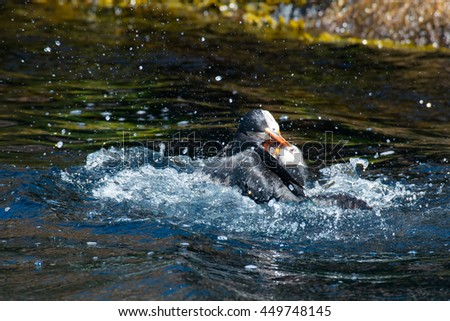 Two Atlantic Puffins fighting in the water at the bottom of a cliff.