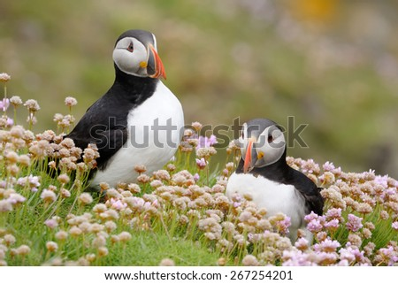 Two Atlantic Puffins together in pink thrift. - stock photo