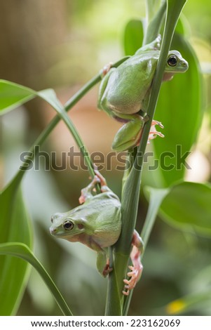 Two Australian Green Tree Frogs on a leaf. - stock photo
