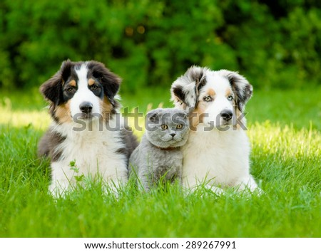 Two Australian shepherd puppies and scottish cat lying on green grass - stock photo