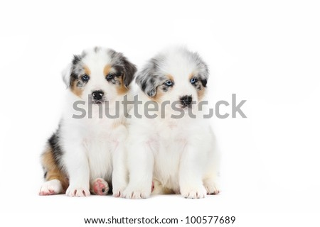 Two Australian Shepherd puppies in studio on the white background