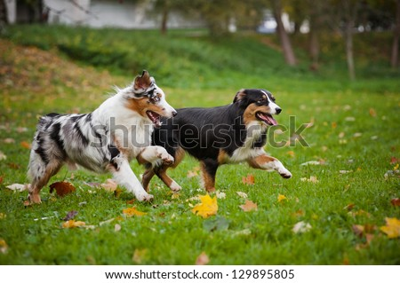 two Australian Shepherds play together in autumn - stock photo
