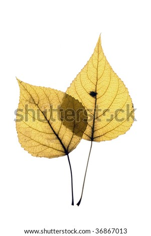 Two autumn leaf on white background