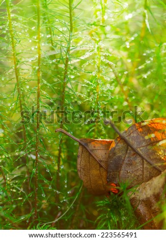 Two autumn leaves in densely overgrown moss. - stock photo
