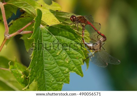 Two Autumn Meadowhawk Dragonflies mating on a leaf.