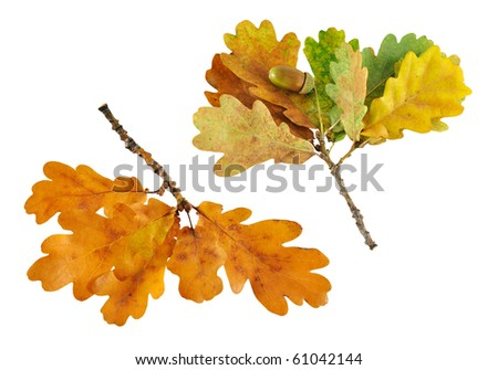 two autumn oak branch isolated on white