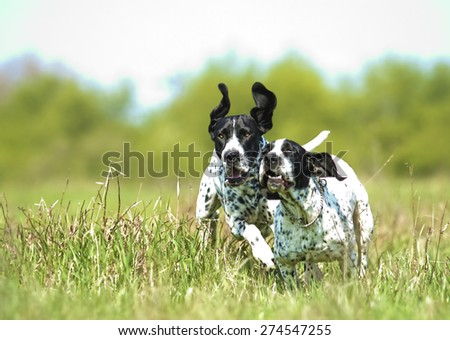two auvergne pointing dog puppy running fight - stock photo