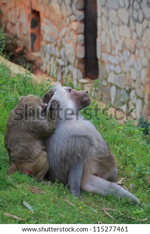 Two Baboon - stock photo