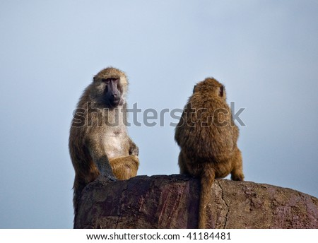 Two baboons sitting atop a high perch