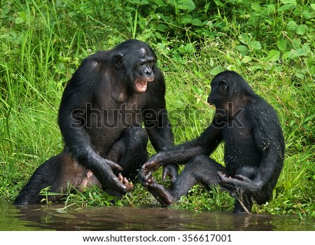Two baby bonobo playing with each other. Democratic Republic of Congo. Lola Ya BONOBO National Park. An excellent illustration.