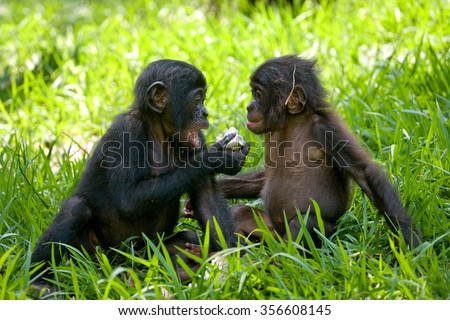 Two baby Bonobo sitting on the grass. Democratic Republic of Congo. Lola Ya BONOBO National Park. An excellent illustration.