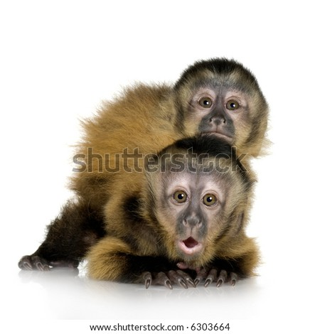 Two Baby Capuchins ( 3 months) in front of a white background - stock photo