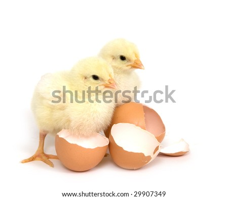 Two baby chicks stand next to broken brown egg shells on a white background