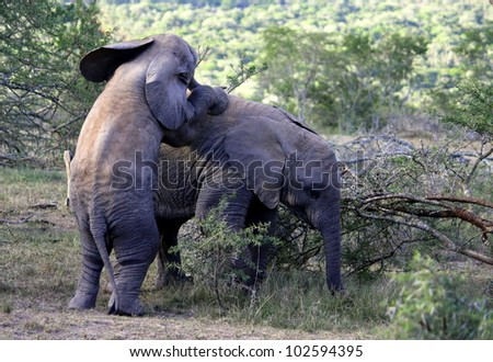 Two baby elephant calf play and climb on each other on safari in Eastern Cape,South Africa - stock photo