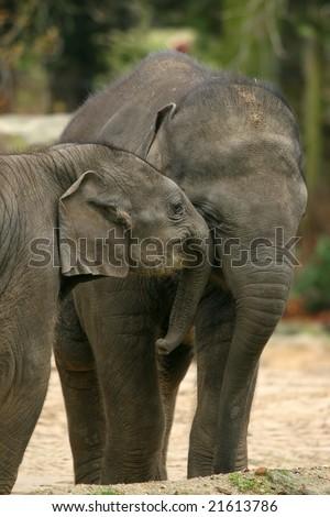 Two baby elephants hugging - stock photo