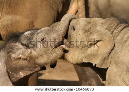 Two baby elephants playing - stock photo
